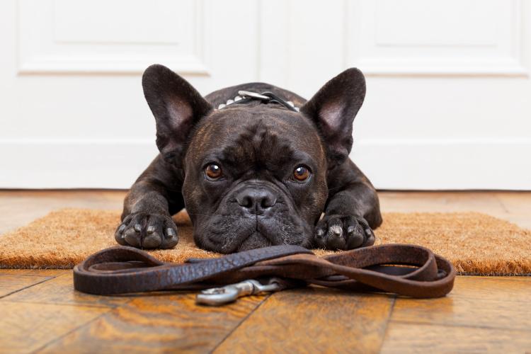 Apklausa: šunis kasdien vedžioja mažiau nei pusė britų