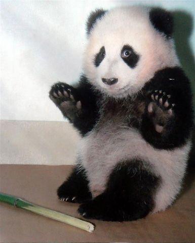 Kinijoje iš žemės drebėjimo zonos evakuota panda atsivedė du jauniklius