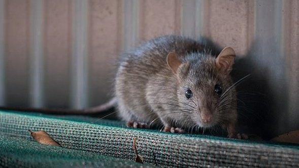 JK gyventojai perspėjami dėl žiurkių antplūdžio