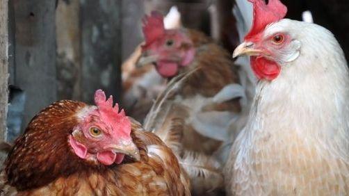 JK užfiksuotas paukščių gripo protrūkis
