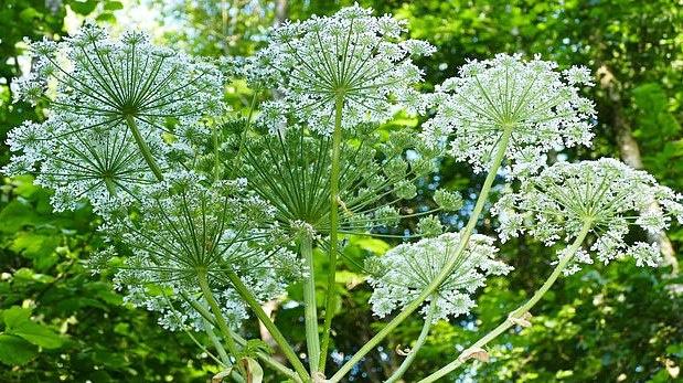JK plinta pavojingas augalas, gali smarkiai nudeginti ir net apakinti