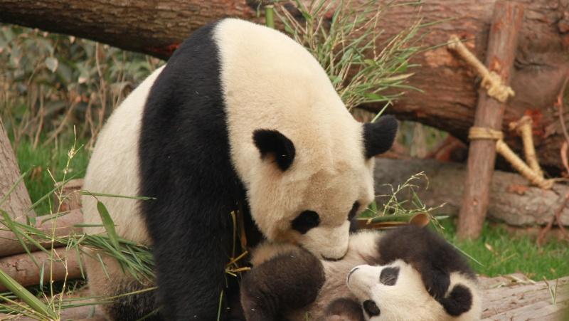 Milžiniškos Edinburgo pandos gali sugrįžti į Kiniją