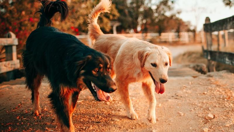 Treniruoti šunys gali užuosti koronavirusą net 94% tikslumu